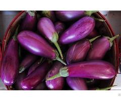 Vietnam Fresh Eggplant