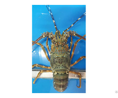 Live And Frozen Panulirus Ornatus Lobster