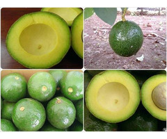 Organic Fresh Avocado Fruit Hass For Sale