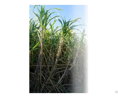 Biofertilizer For Sugarcane Gluconacetobacter