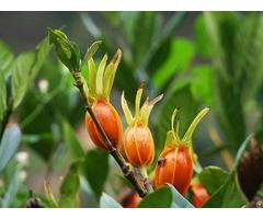 Cape Jasmine Fruit Powder