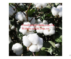 High Quality Cotton Seed Vdelta