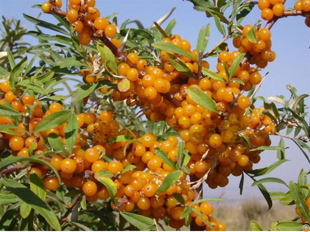 100% Herbal Factory Sea Buckthorn Seed Oil Seabuckthorn Fruit Oil