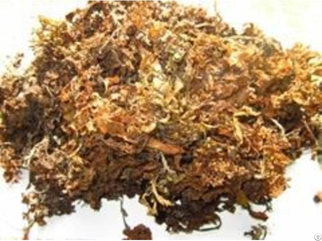 Sargassum Seaweed Raw