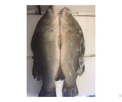 Frozen Whole Barramundi
