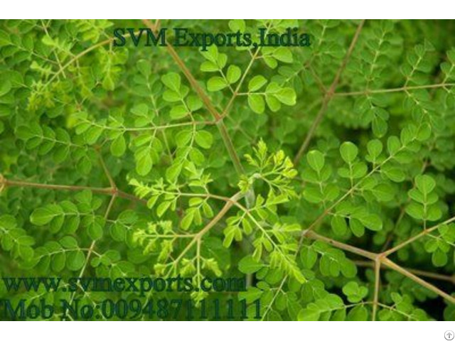 Moringa Leaves Exporters India