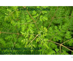 Moringa Tea Cut Leaf Exporters