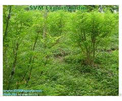 Pure Moringa Leaves Exporters