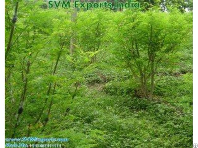 100% Natural Moringa Leaves Suppliers
