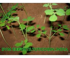 100% Natural Moringa Tea Cut Leaf Suppliers