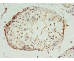Polr2i Antibody