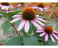 Anti Microbial Virus Immune System Echinacea Pururea Extract