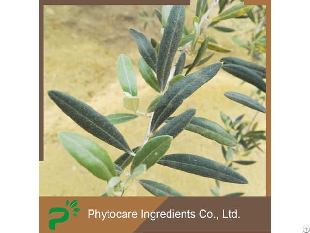 Anti Bacterial Olive Leaf Extract Oleuropein