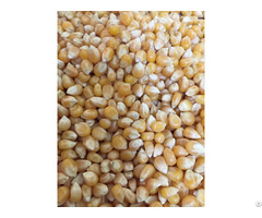 Yellow Corn Barley Wheat Feed Grade