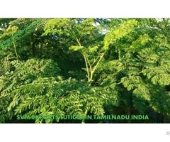 Natural Moringa Tea Cut Leaf Exporters India