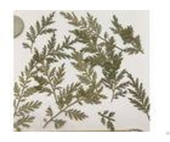 Original Color Fern Material Diy Pressed Flowers For Painting Home Decoration