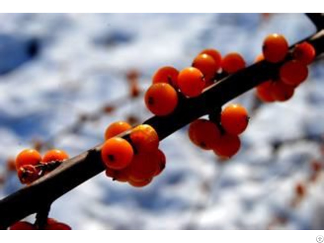 Seabuckthorn Seed Berry Fruit Oil Manufacturer