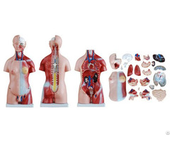 45cm Various Specifications Unisex Medical Torso Model For Education And Teaching