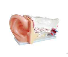 New Style Professional Giant Ear Model Anatomy Wholesale