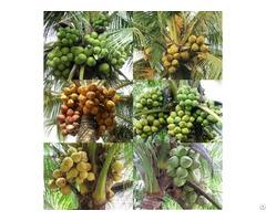 Fresh Banana From Cuulong Delta